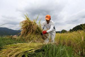 A Japanese farmer collects harvested rice ready to dry in a paddy field